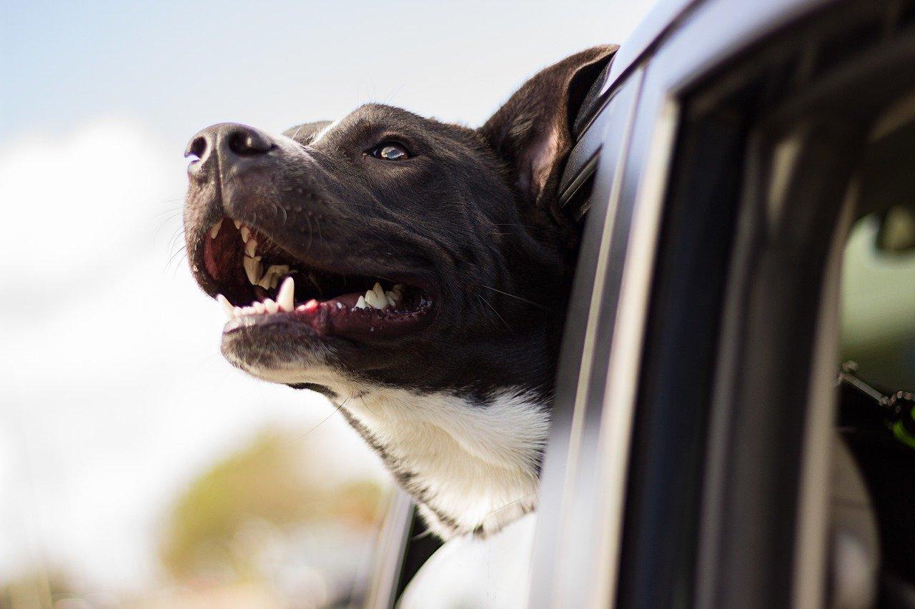 Comment choisir sa ceinture de sécurité pour chien?